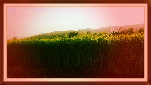 sugarcanes1