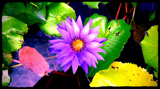 purple lotus 3