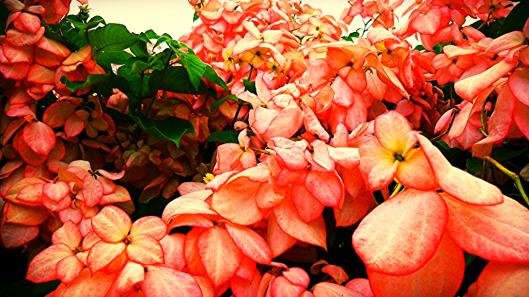 king's park flower